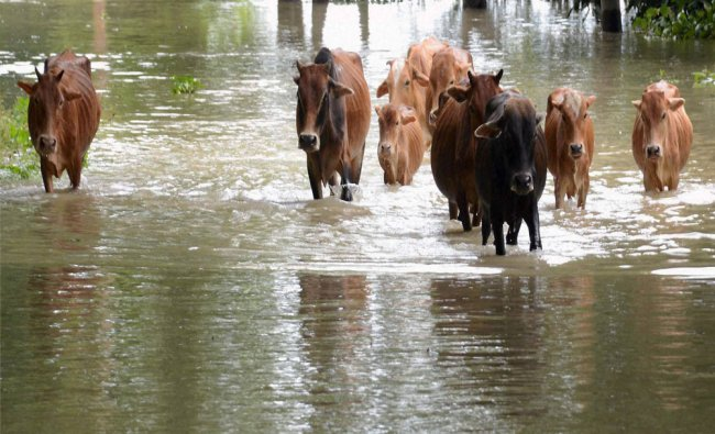 Cattle move through flood water at Dhekiabari Village in Kamrup district of Assam...
