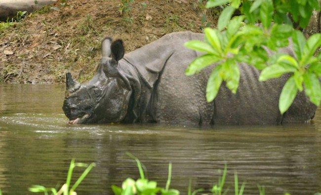 A single horned rhino swims through flood waters in flood-hit Kaziranga National Park, in Assam...