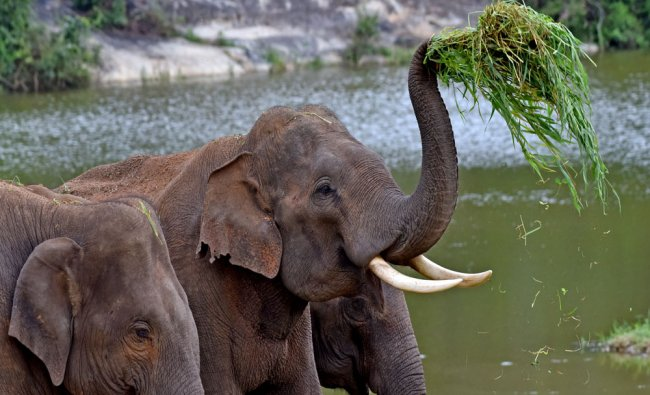 Elephants in Bannerghatta National Park in Bengaluru...