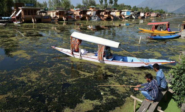Boatmen fishing in weed coverd Dal Lake as the authorities have not been able to carry out the...
