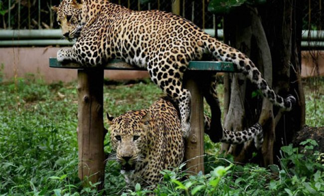 Leopards at the zoo in Surat on Tuesday...
