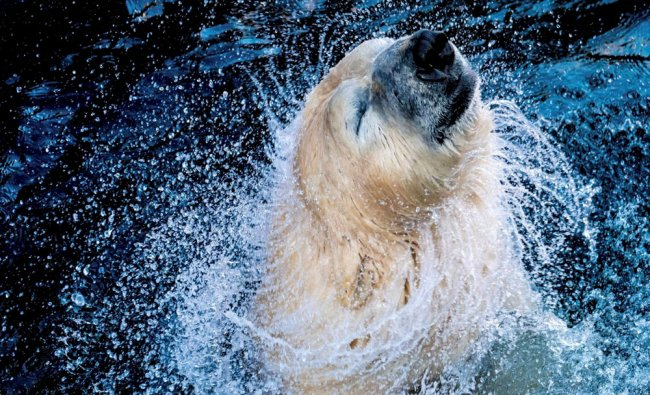 \'Sprinter\' the polar bear enjoys the water in a zoo in Hannover, Germany, Friday...