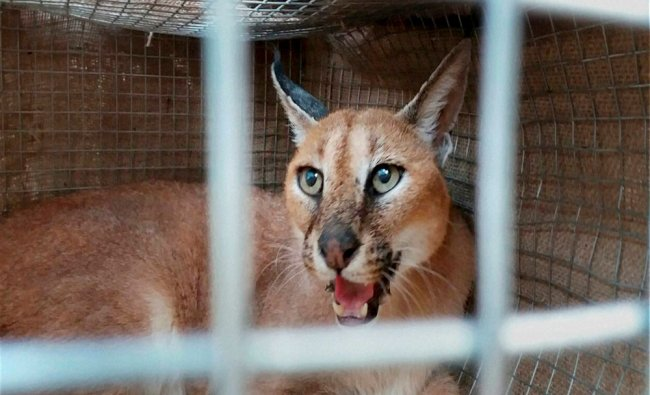 A wild cat that was seized from smugglers in Mirzapur on Monday. The police has seized five...