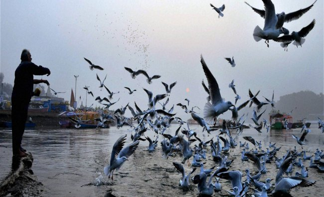 A devotee feeds migratory Siberian seagulls flying over river Narmada during a foggy morning...