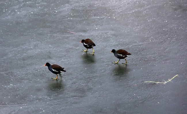 Migratory birds walks over the frozen Dal Lake in search of food,as night temperature droped...