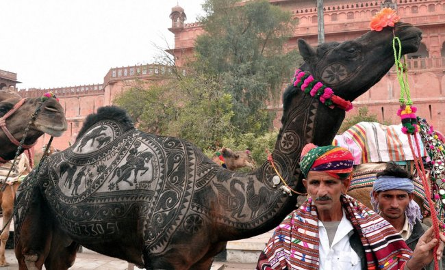 A man with his decorated camel during the 24th International Camel Festival, in Bikaner...