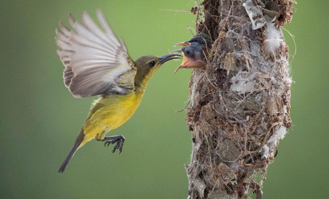 An Olive-backed Sunbird feeds its two babies insects in their nest in Klang, Selangor, Malaysia...