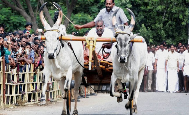 AIADMK leader SP Velumani inaugurates Cattle race after the urgent law was passed for...
