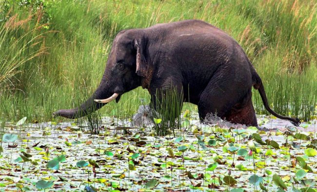 A wild elephant separated from its group wanderers in Birbhum forest range on Tuesday...