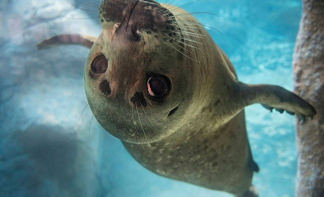 11-month-old Pacific harbor seal named Ziggy. Ziggy was only a day old and still had her...