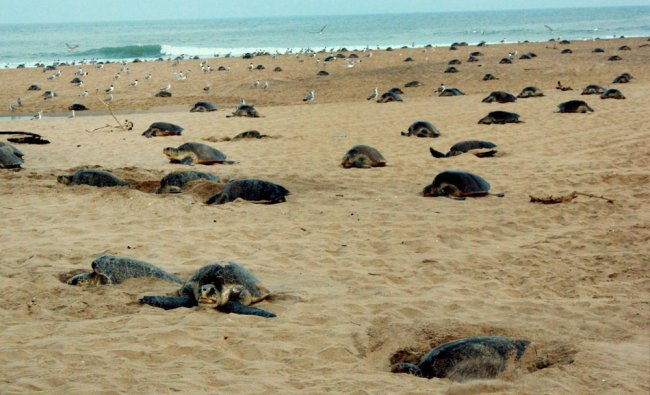 Olive Ridley turtles nest their eggs at the Rushikulya river mouth beach in Ganjam district of...