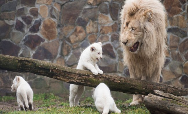 Inkosi, the white Transvaal lion (Panthera leo krugeri), father of two-month-old triplets watches...