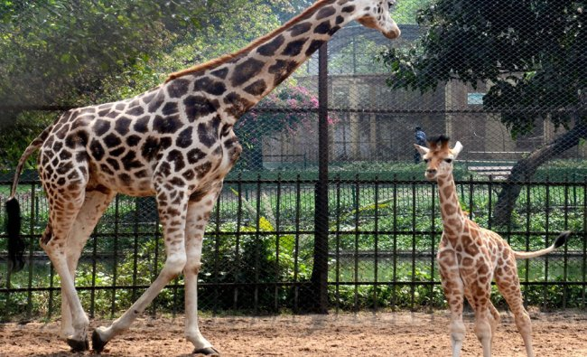 Giraffe Lakshmi with her new born baby which made public debut at Alipore Zoo in Kolkata...