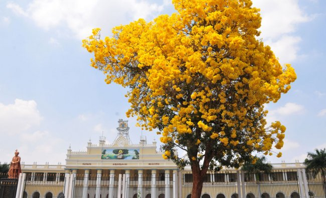 Tabebuia tree filled with the flowers giving an attraction look to University of Mysore...