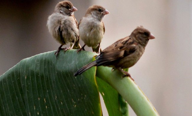 Sparrows seen at a banana leaf on the eve of the World Sparrow Day in Guwahati on Sunday...