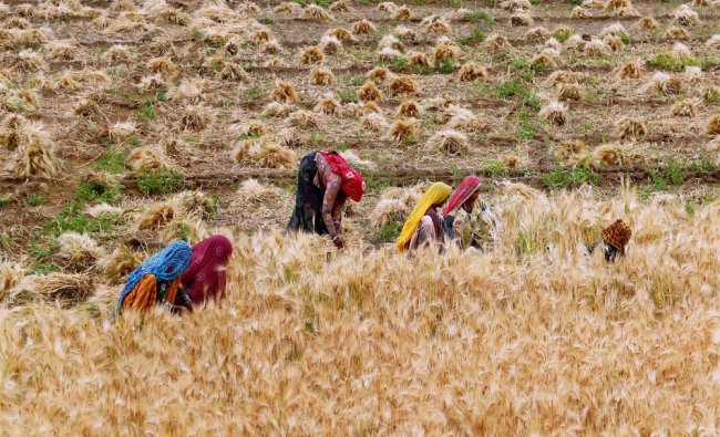 Woman farmers harvesting wheat crop at a village on the outskirts of Ajmer on Sunday...