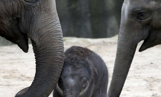 A male baby elephant, center, stands between adult animals in the enclosure of the zoo in Cologne...