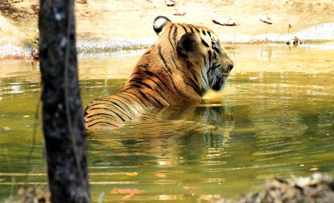 Big cat beating the heat in a pond at Pilikula Nisargadhama on the outskirts of Mangaluru ...