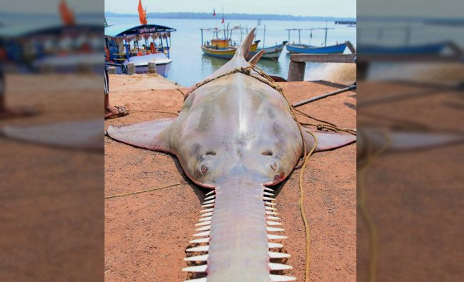 A huge fish that was found in the sea near Vijaydurg in Sindhudurg, Maharashtra on Monday....