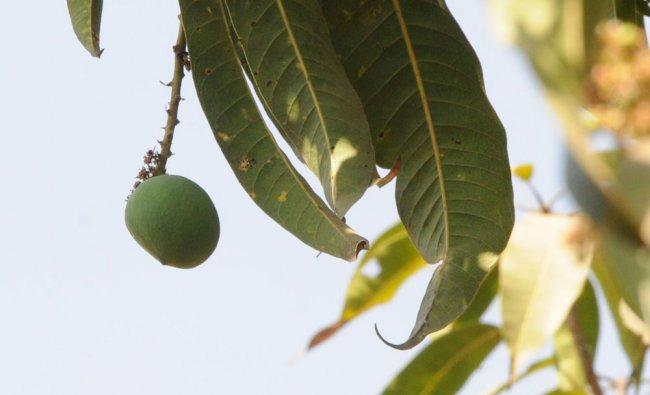 King of fruits mango has arrived for sale at Eidgah Maidan near Channamma Circle in Hubballi...