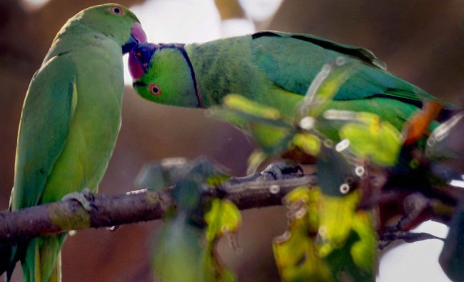 A pair of parrots on a tree branch in New Delhi on Sunday...