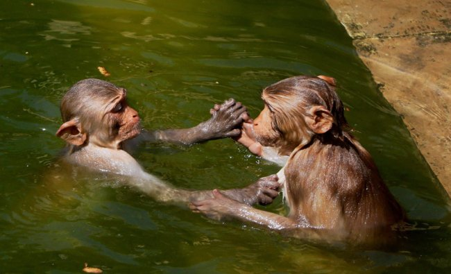 Macaques cool themselves at Galta Ji pond on a hot day