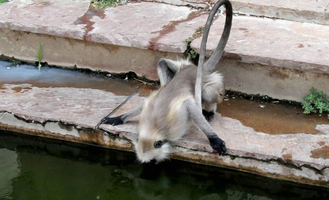 A monkey tries to drink water at the Pushkar Lake during a hot day in Pushakar, Rajasthan...
