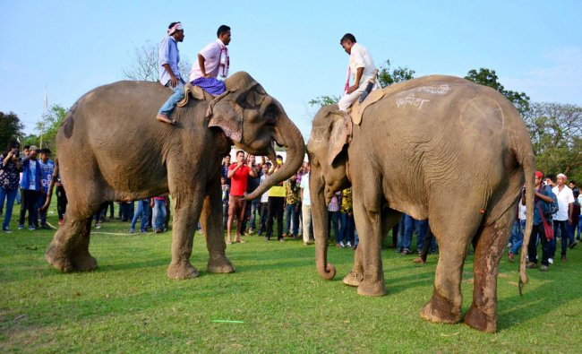 Asian Elephants during the \'Suwori festival\' as part of the Rongali Bihu celebrations in Guwahati.