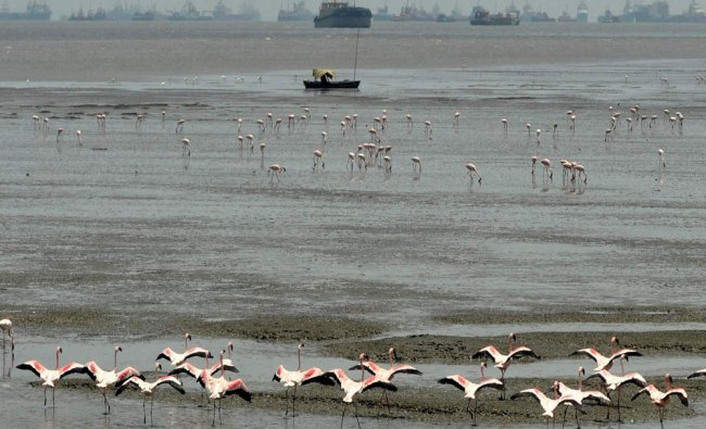 A group of flamingos at Sewri Jetty in Mumbai...