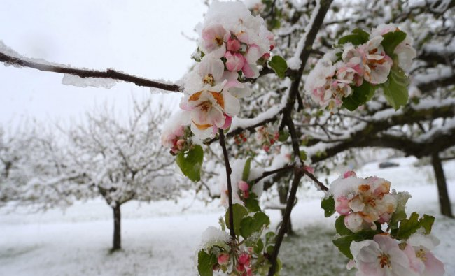 Blossoming apple trees are covered in snow near Altenstadt, Germany...