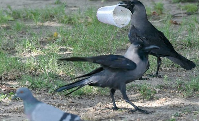 A crow holds a diposal glass on a hot day in New Delhi on Monday....