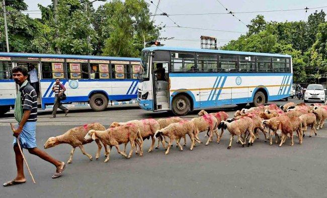 Shepherds with a herd of sheep walk along a road in Kolkata...