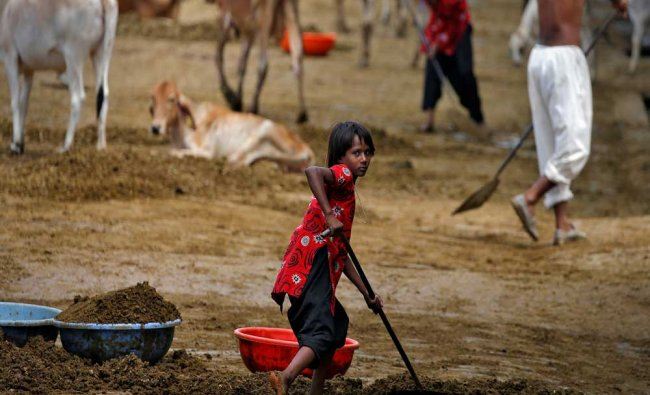 A girl clears cow manure at a Gaushala or cow sanctuary in Barsana...