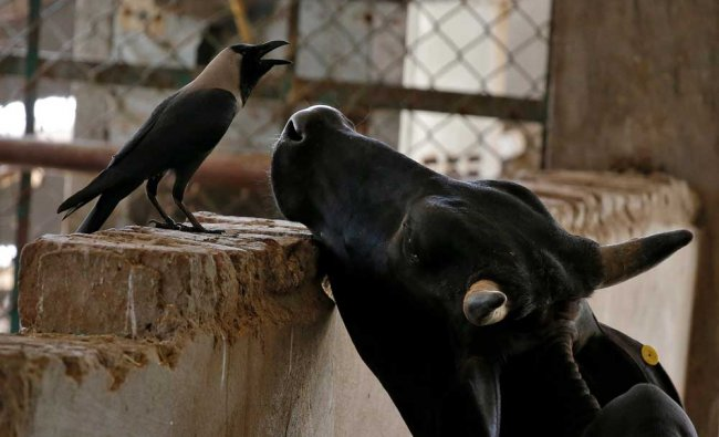 A grey crow and cow pictured in a Gaushala or cow sanctury in Barsana, India...