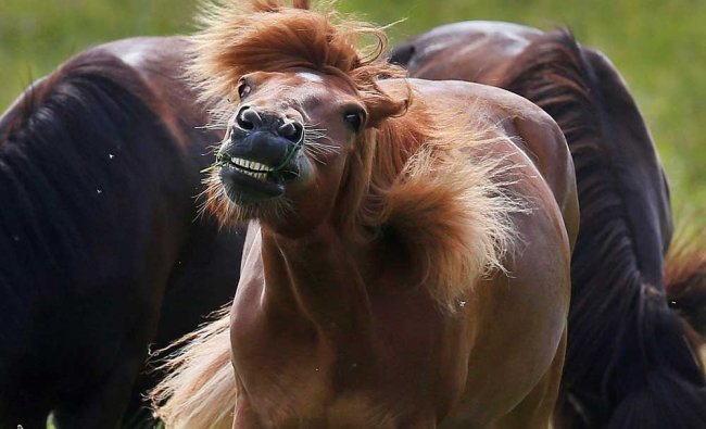 An Icelandic horse shakes off flies in its paddock in Anspach near Frankfurt...