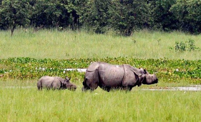 A rhino with its calf at the Pobitora Wildlife Sanctuary in Morigaon district of Assam...