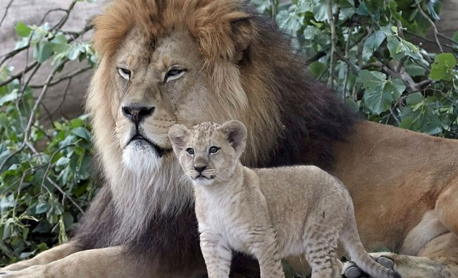 A Barbary lion cub, stands next to its father \'Schroeder\' at the zoo in Neuwied, Germany...