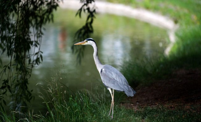 A gray heron (Ardea cinerea) stands next to a pond and...