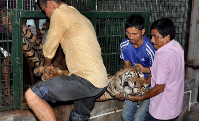 Zoo workers carry the carcass of 11-year old Royal Bengal tiger Lachit...