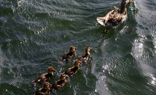 A duck and her little ones swim in Danube river on a hot summer day in Vienna...