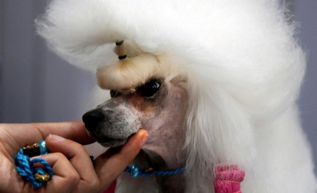 Topy, a 5-year-old Poodle, is groomed during the Thailand International Dog Show in Bangkok...