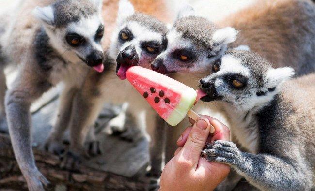Ring-tailed lemurs (Lemur catta) receive ice cream to cool down in the Gyongyos Zoo in Gyongyos...