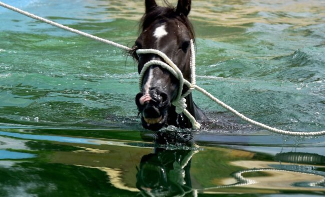 A Marwari mare is given hydrotherapy for musculoskeletal system at Equine Production Campus...
