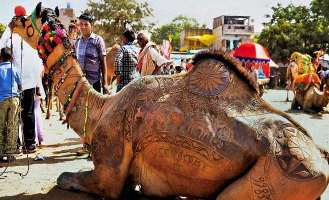 A camel with traditional designs sheared onto him, is sennn at International Camel Fair...