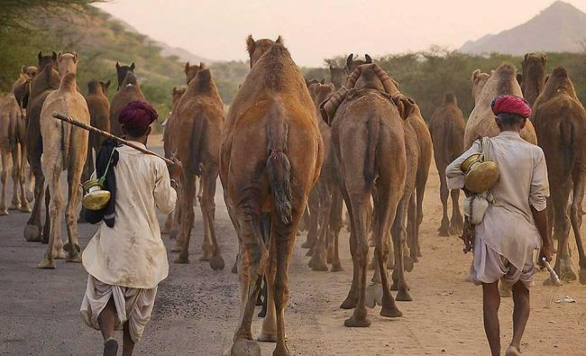 Herder with their camels leave after end of the Pushkar Camel Fair in...