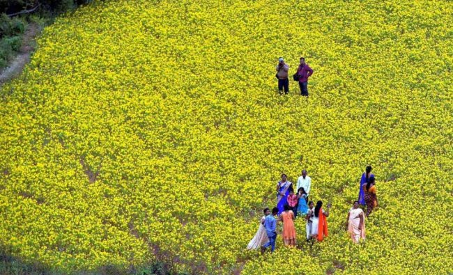A view of a mustard field as seen from a flying hot air balloon during the 1st Araku Balloon ...