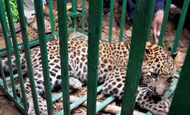 Forest employees and locals capture a leopard in a cage after it strayed in a village of Udhampur..