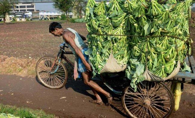 A farmer pulls a cart rickshaw carrying cauliflower vegetables....