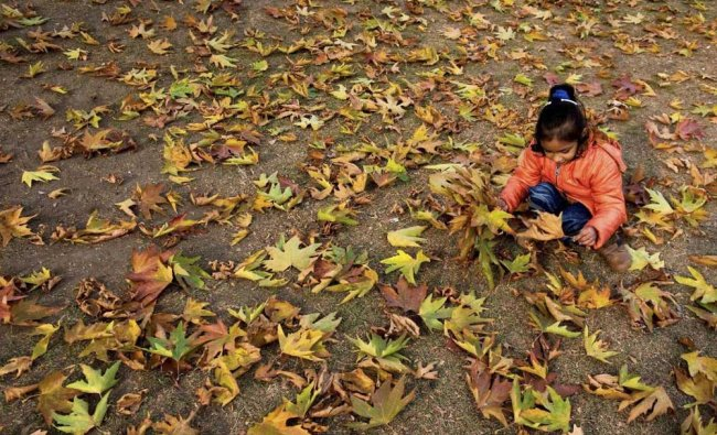 A girl collecting fallen Chinar leaves at a Mughal Garden on the out skirts of Srinagar...