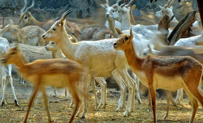 A group of deer inside Delhi Zoo...
